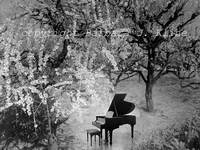 Cherry Blossoms / Piano